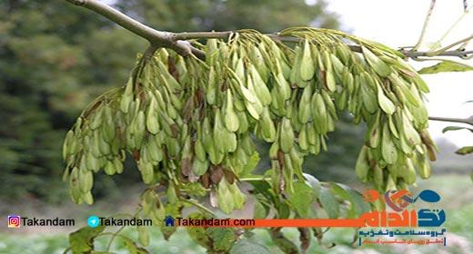 Fraxinus-excelsior-tree