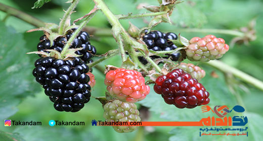 blackberry-benefits-1