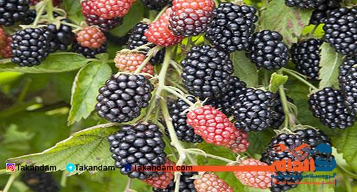 blackberry-benefits-2