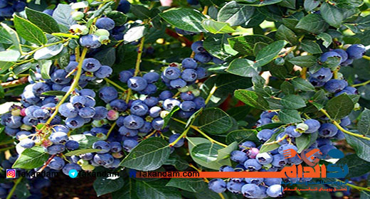 blueberry-benefits-5