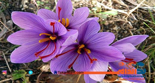 saffron-benefits-11